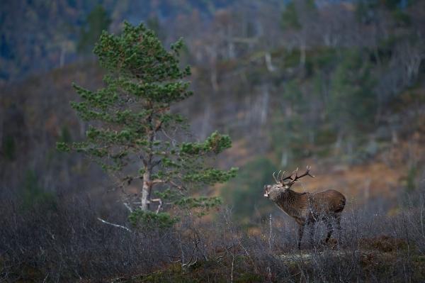 Brølende kronhjort i miljø. 42 poeng.  © Arne K. Mala