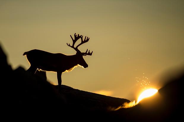 Reinsdyr i kveldssol. Gull. © Arne K. Mala