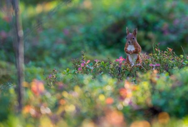 Høst i ekornskogen. 44 poeng. © Kertil Olsen