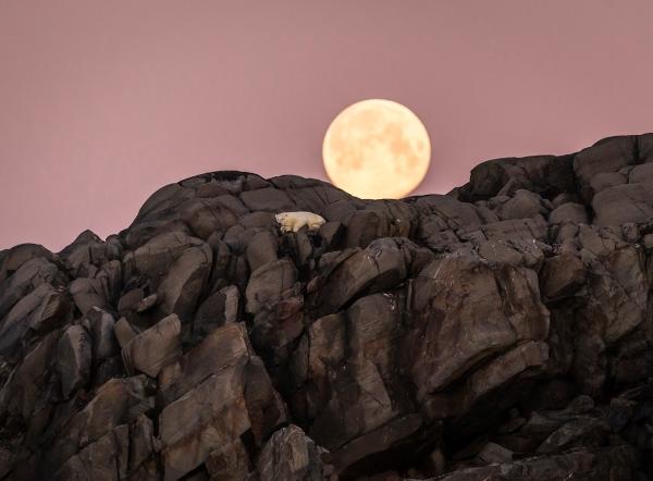 Isbjørn i fullmåne. Gull. ©  Jan R. Olsen