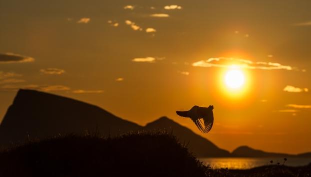 I midnattssolens rike. Gull. © Ketil Olsen