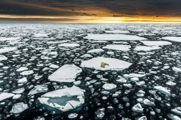 Isbjørn på is. Gull. © Jan R. Olsen