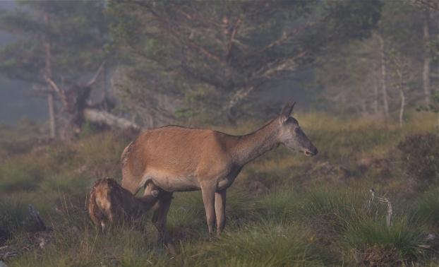 Diende hjortekalv. 44 poeng. © Bernt Østhus