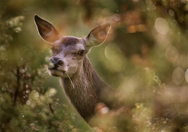 Hjort i dråpedryss. Gull. © Bernt Østhus