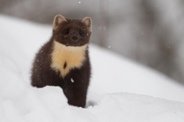 Mår i snø. 43 poeng. © Rolf Selvik