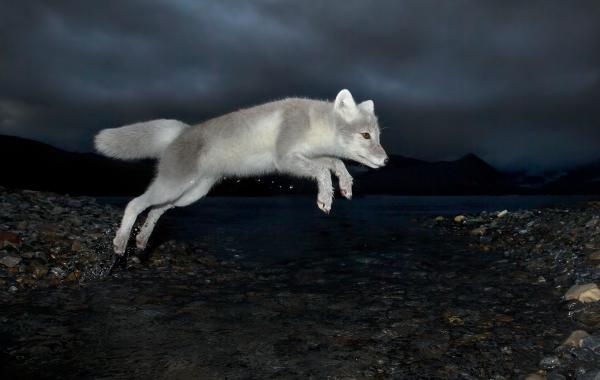 Arktisk  nattjeger - fjellrev. Gull - 50,2 poeng. © Audun Rikardsen