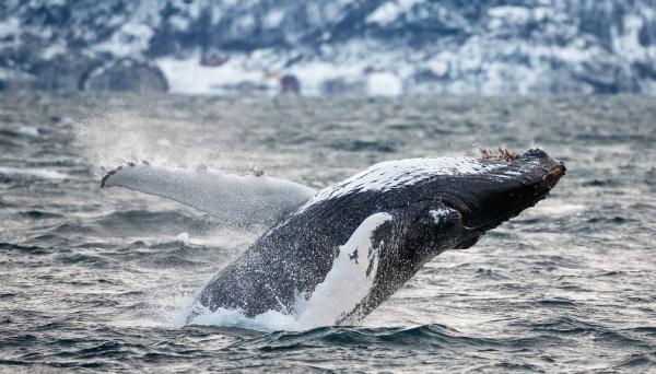 Flyvehval - knølhval. 41 poeng. © Espen Bergersen