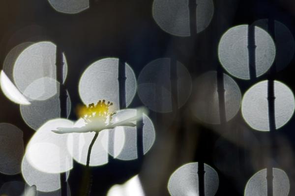Kvitveis. Gull - 50,8 poeng. © Magnar Børnes