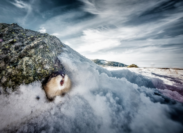 Lemen. 42 poeng. © Rune Hermansen