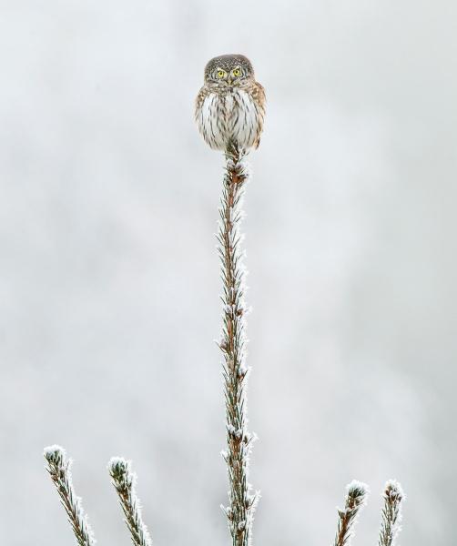 Spurveugle. 42 poeng. © Kai Jensen