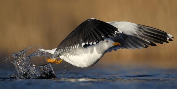 Sildemåke i farta. Gull - 50,5 poeng. © Rune S. Karlsen
