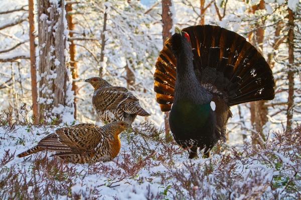 Tiurleik i vinterkledd skog. 42 poeng. © Magnar Lien