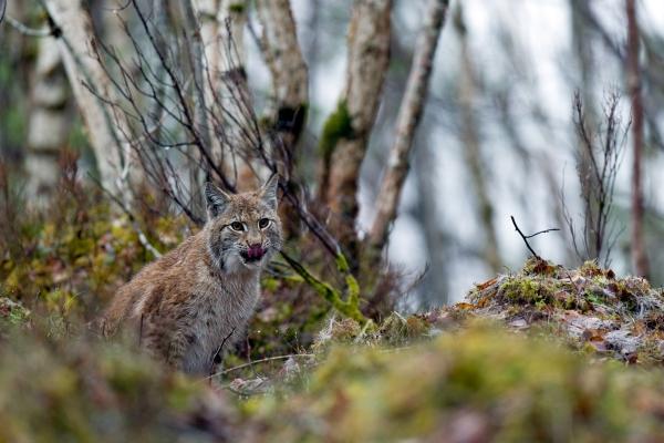 Gaupe. Gull - 50,8 poeng. © Vegard Lødøen