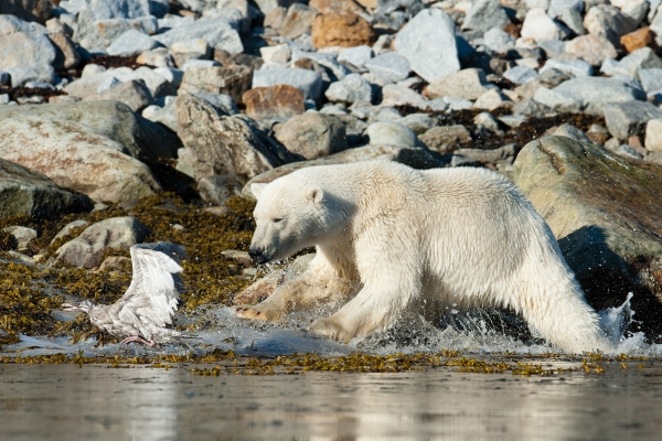 Isbjørn. 42 poeng. © Vegard Lødøen