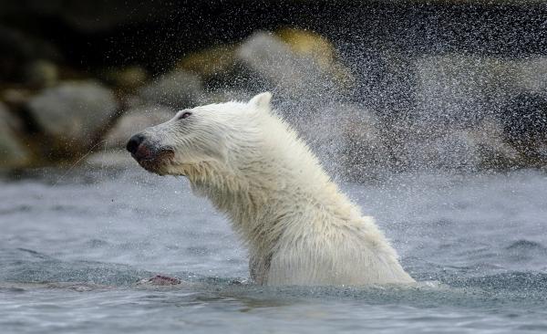 Isbjørnbading. 40 poeng. © Arne K. Mala