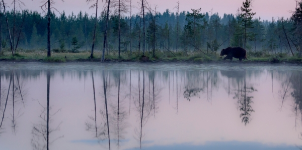 Bjørn på vandring. 40 poeng. © Arne K. Mala