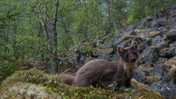 Mår i miljø. 41 poeng. © Torgeir Myklebust