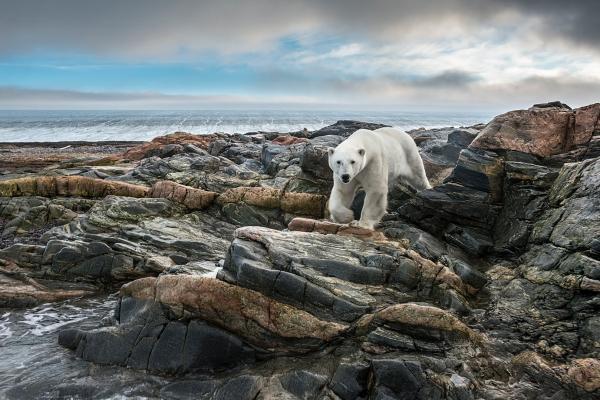 Isbjørn på Kvitøya. Gull. © Jan R. Olsen