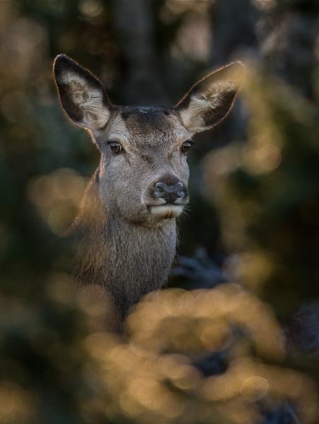 Portrett av hjortekolle. 43 poeng. © Bernt Østhus