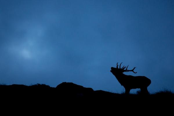 Blåtimebukken brøler. 42 poeng. © Rolf Selvik