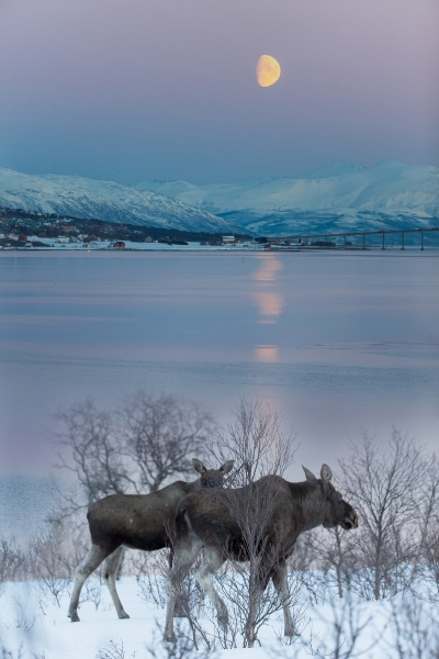 Måne og elger. 38 poeng. © Hinrich Bäsemann