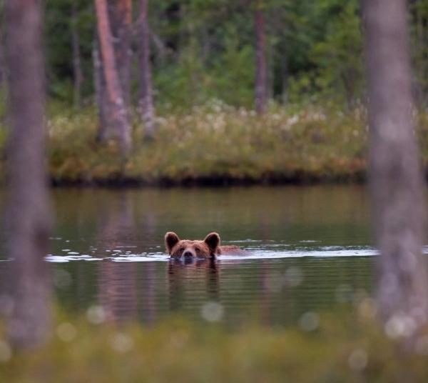 Badebjørn. 38 poeng. © Øyvind Dyrdal