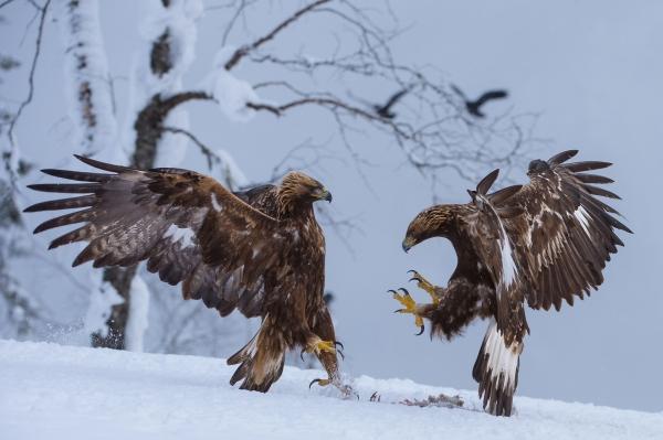 Eaglefighting. 40 poeng. © Gaute Frøystein