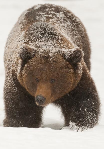Bjørn i dypsnø. 42 poeng. © Per Gätzschmann