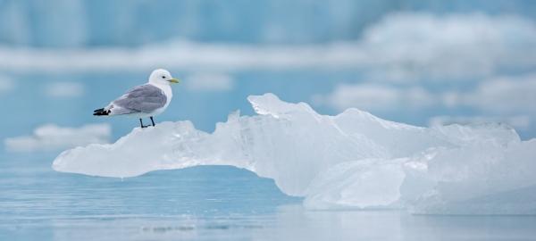 Krykkje på isskulptur. 41 poeng. © Per Gätzschmann