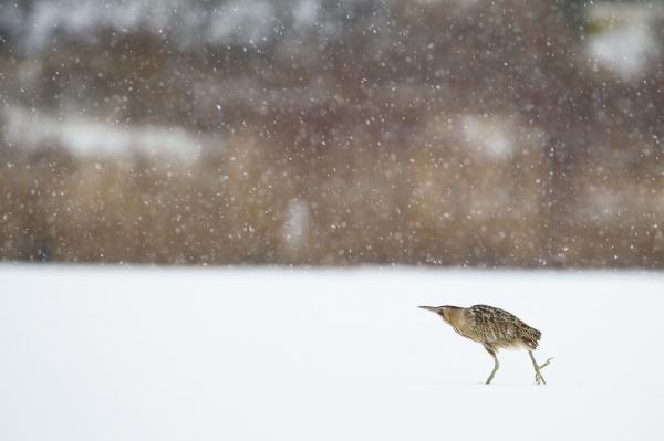 Rørdrum i snøvær. 39 poeng. © Helge Helland