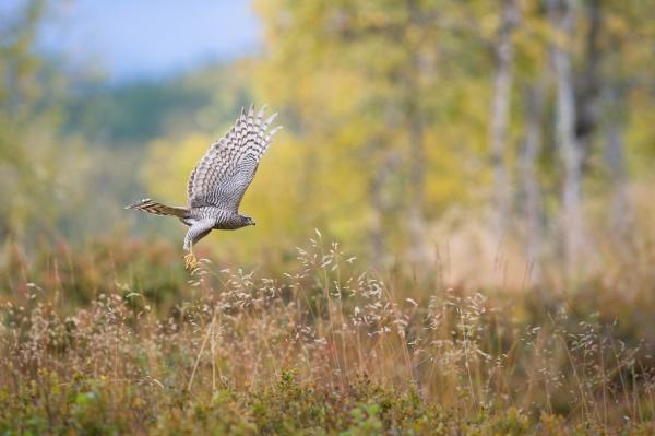 Spurvehaukflukt. 43 poeng. © Helge Helland