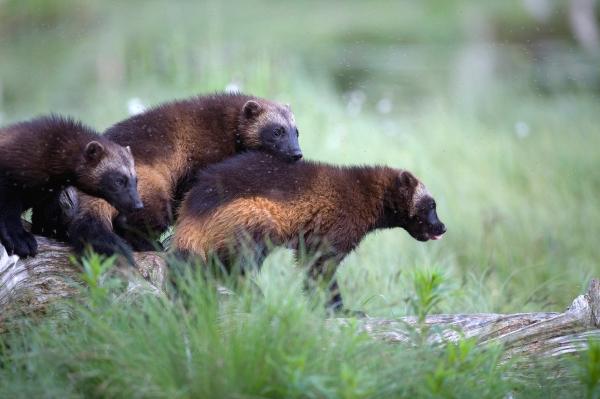 3 brødre (jerver). Gull. © Robin Jenssen