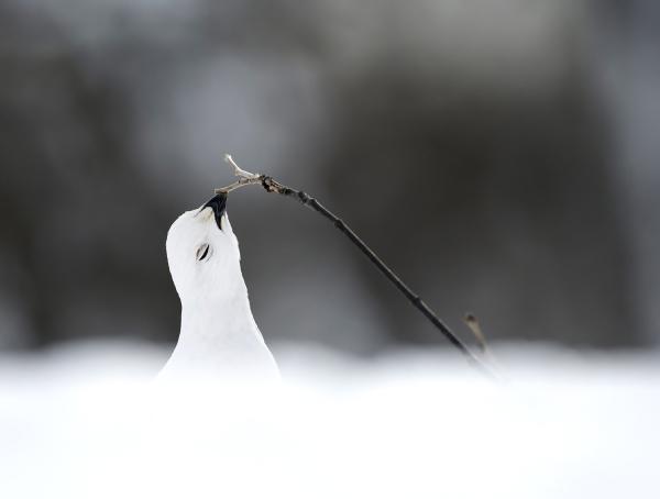 Beitende rype. 39 pooeng. © Robin Jenssen