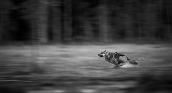 Løpende ulv. 42 poeng. © Robin Jenssen