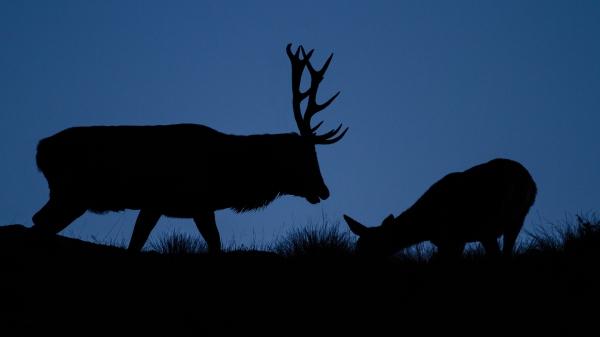 Kronhjort og kolle i silhuett. 39 poeng. © Vidar Lunde