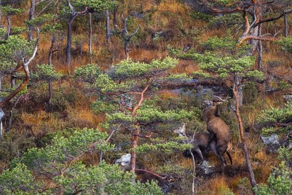 Paring i hjorteskogen. 40 poeng. © Vidar Lunde