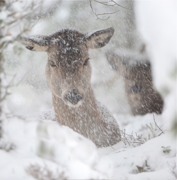 Hjort i snøstorm. Gull. © Bernt Østhus