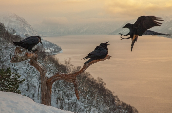 Ravner i kveldslys. Gull. © Kjell Ivar Øye