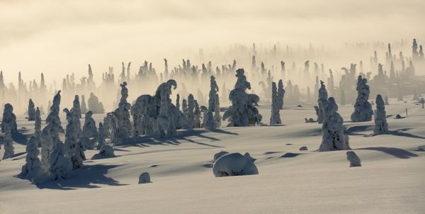 Tåkegraner. Gull. © Jan Rune Samuelsen