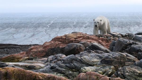 Isbjørn på Kvitøya. 40 poeng. © Jørgen Skaug