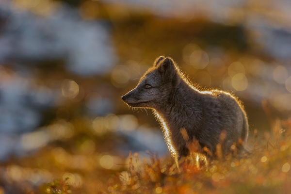 Back-lit Fox (Fjellrev i motlys). Gull. © Andy Trowbridge