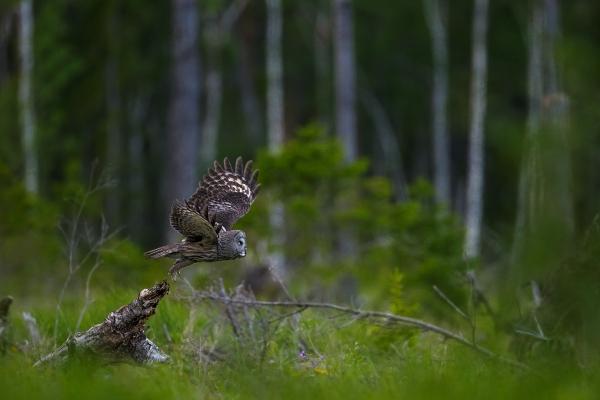 Lappugle - Take-off. Gull. © Andy Trowbridge