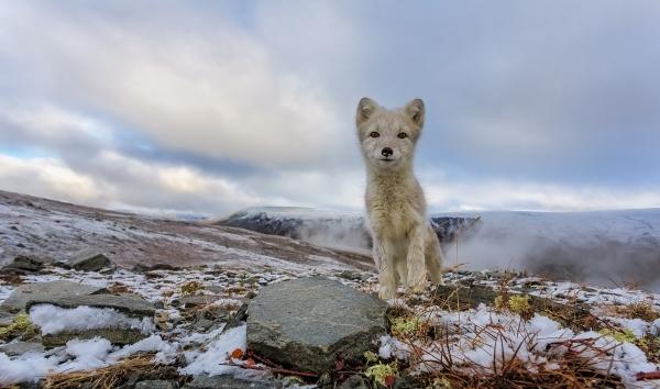 Curious Fox - Nysgjerrig rev. 39 poeng. © Andy Trowbridge