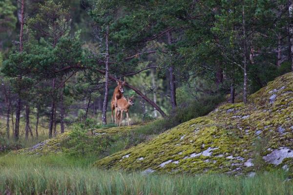 Rådyrparing i skogen. Gull. © Vidar Lunde