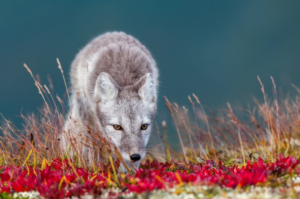 Fjellrev. 44 poeng. © Linda Lødøen