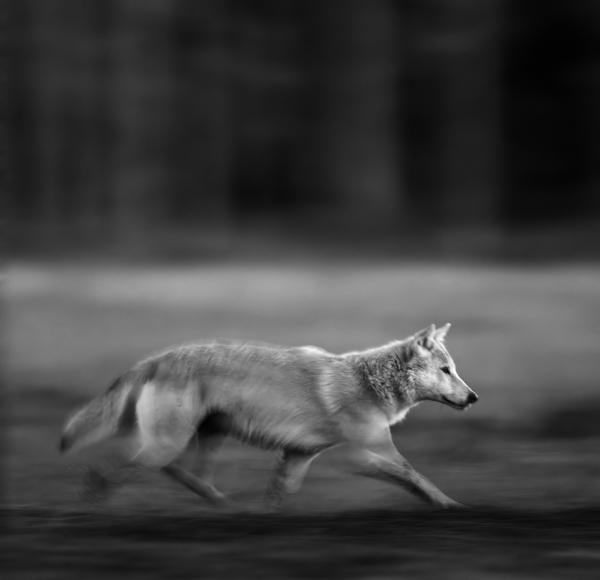 Panorert ulv. 40 poeng. © Robin Jenssen