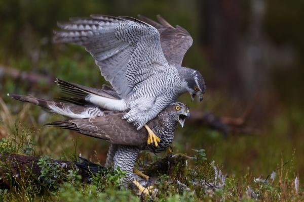 Etter paringen - Hønsehauk. Gull.  © Vidar Lunde