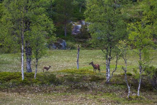 Kolle og kalv på myrullenga. 43 poeng. © Vidar Lunde