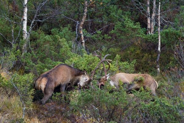 Storkamp i hjortelia. 44 poeng. © Vidar Lunde