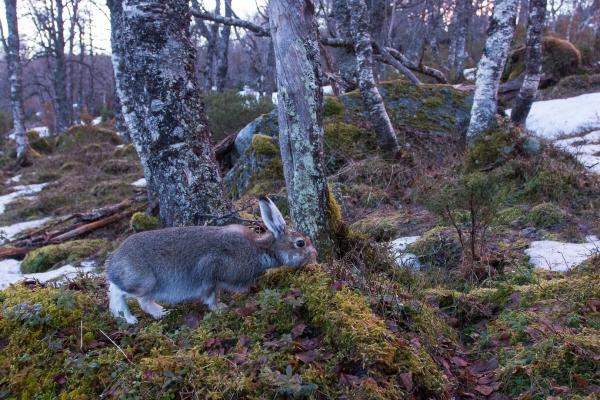 Beitende hare i vårskogen. Gull. © Vidar Lunde